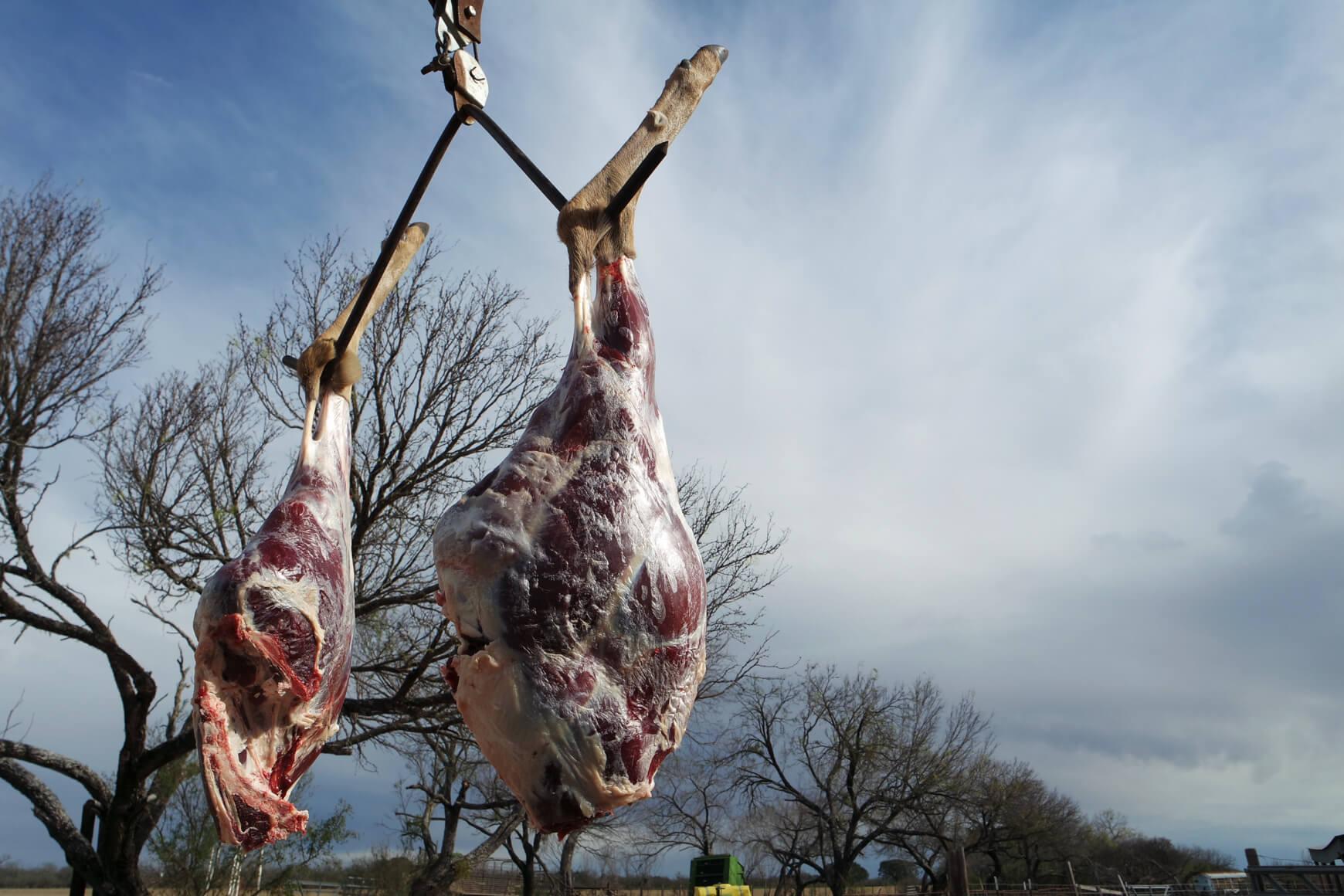 deer hams waiting to be processed